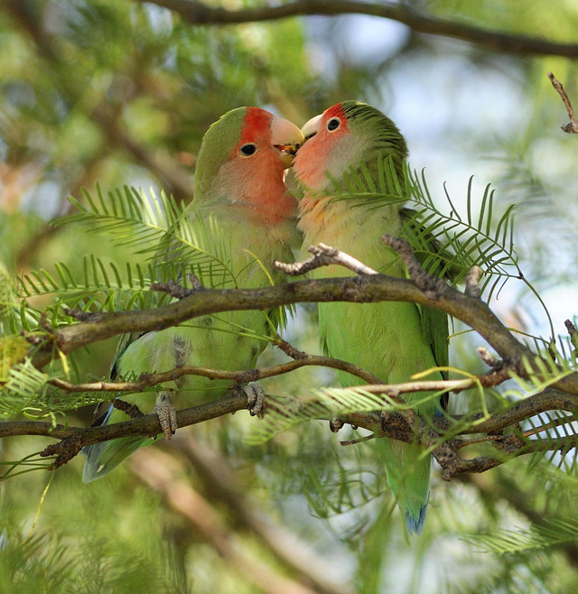 love birds pictures