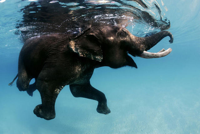 swimming-elephant-in-the-Andaman-Islands
