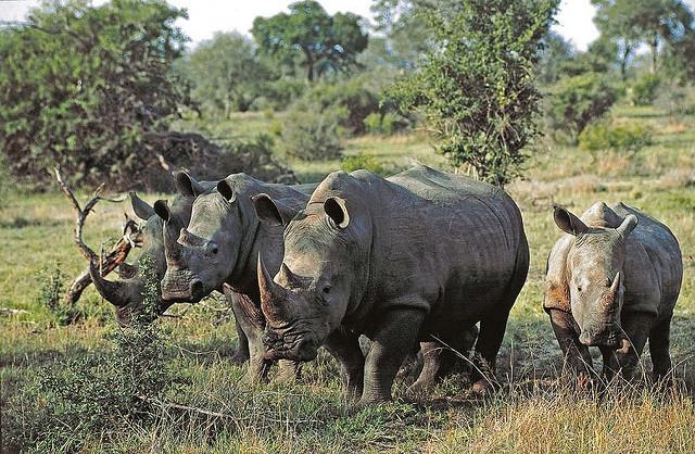 Rhino - Sabi Sabi South Africa by sabi