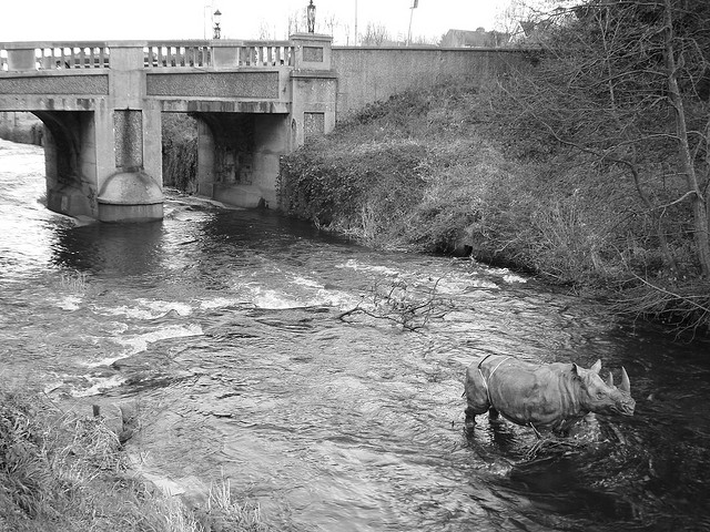 A rhino running amok in the Dodder river by Brain