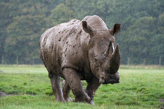 Rhino in the rain by David Tinker