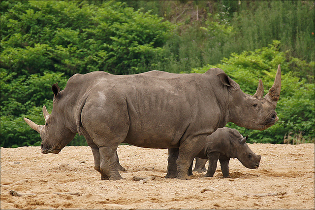 Mother and aunt give baby rhino protection by Martien Uiterweerd