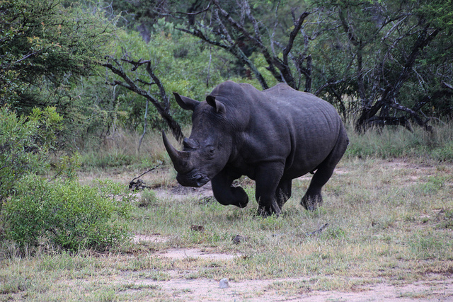 Rhino by Maureen Barlin