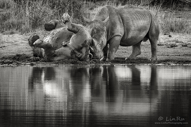 Rhino Mud Bath by Rudi Van den Heever