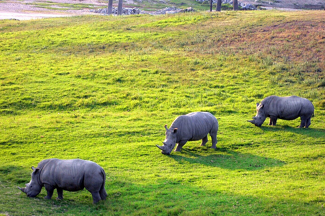 Rhinos grazing at the wild animal park by Robert miler