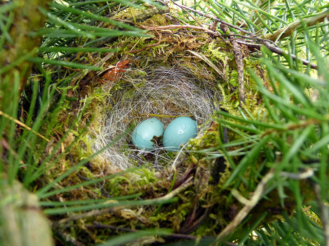 Sparrow-Bird-Nest