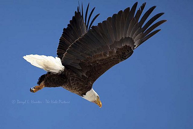 Bald Eagle In Flight by Daryl L. Hunter