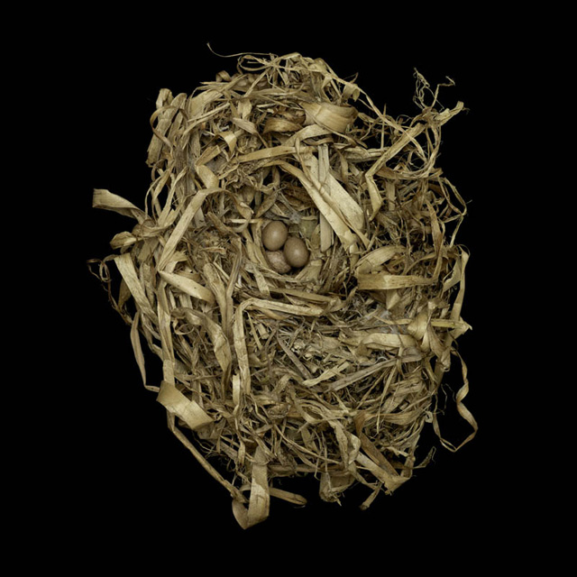 marsh-wren