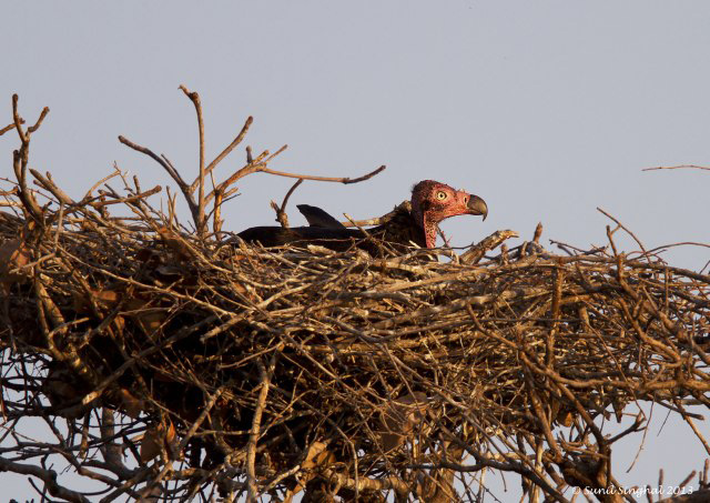 red-headed-vulture-nest