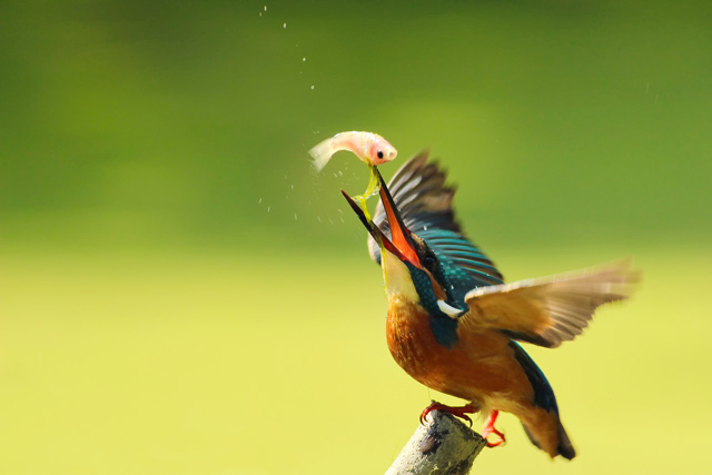 stunning photographs of kingfisher bird