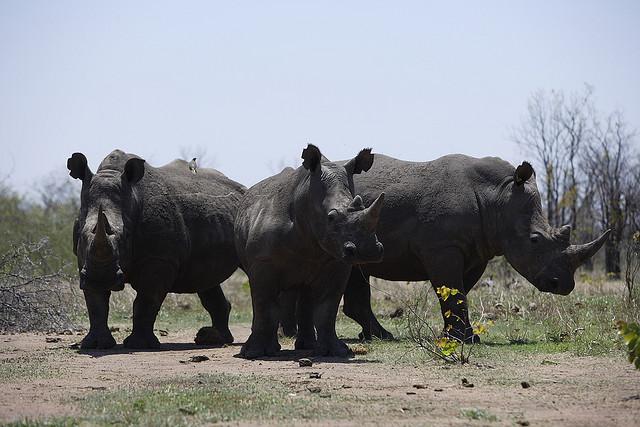 white rhino by Kim Wolhuter
