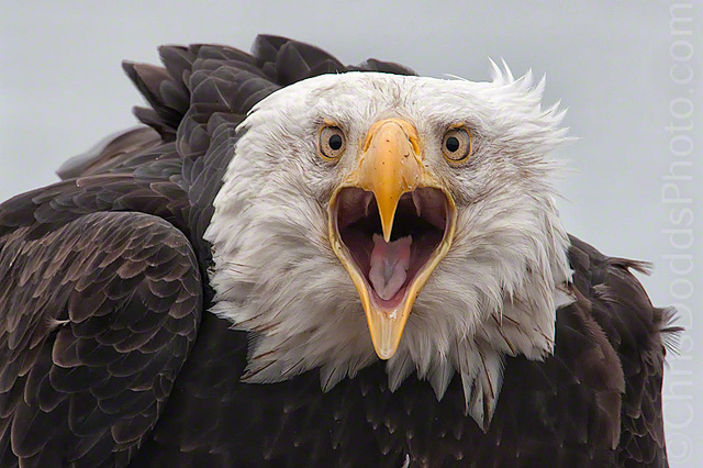 A Bald Eagle by Christopher Dodds