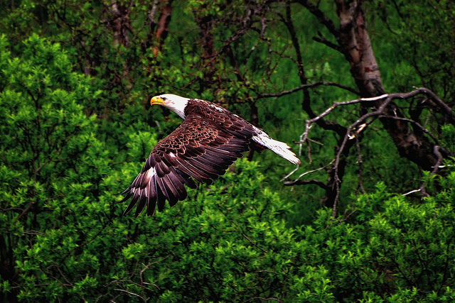 Bald Eagle in Flight by Mark Stevens