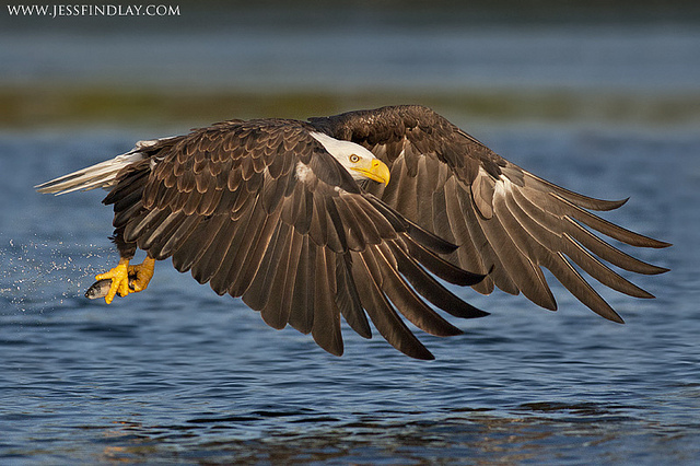 bald eagle by Jess Findlay