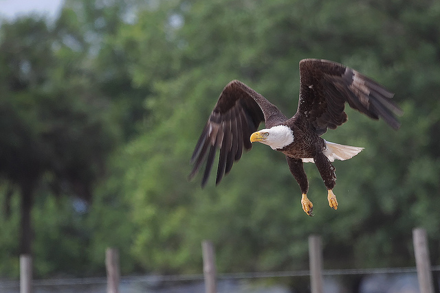 Bald Eagle Takeoff by Matthew Paulson
