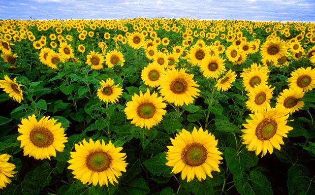 Sunflower photographs