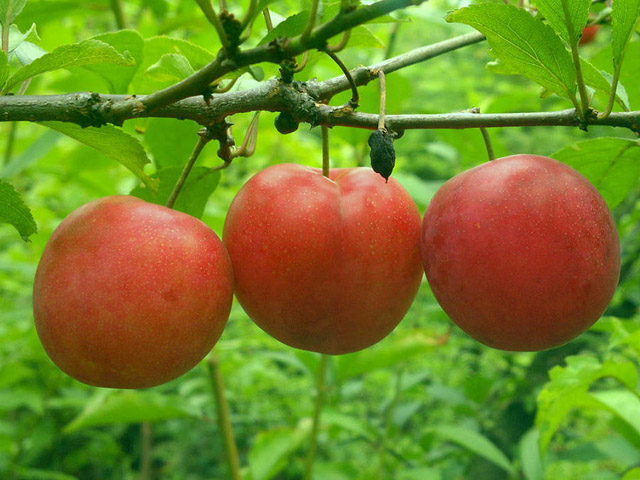 plum fruits images