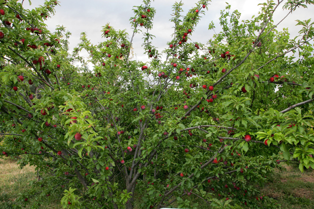 plum fruits in tree