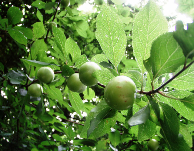 green plum fruit