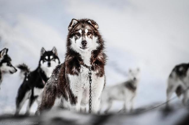 greenland dog by Hans Chr. Sivertsen