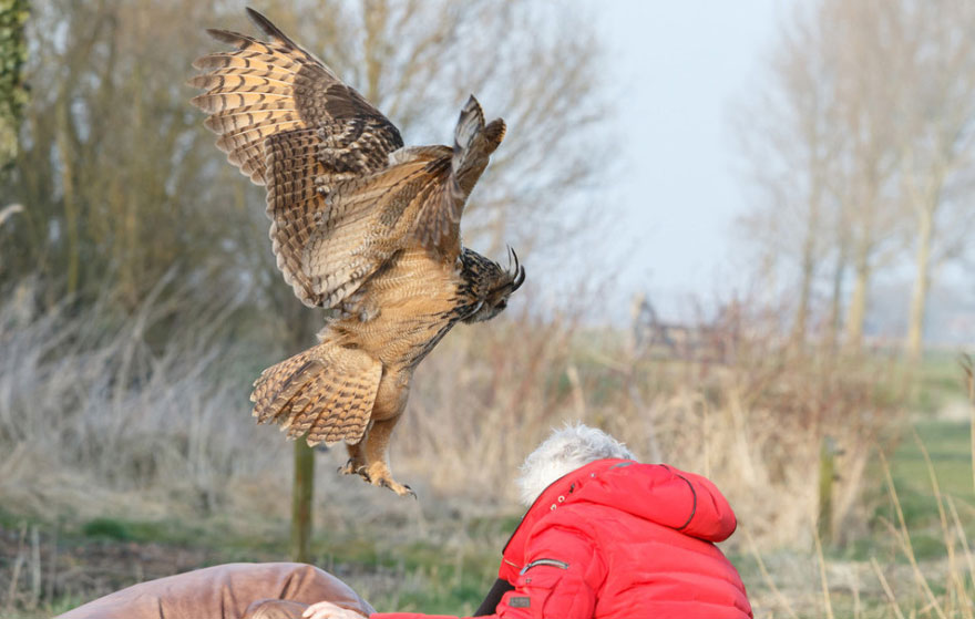 Snuggling Owl Who Loves Landing on People's Heads in Netherlands (1)