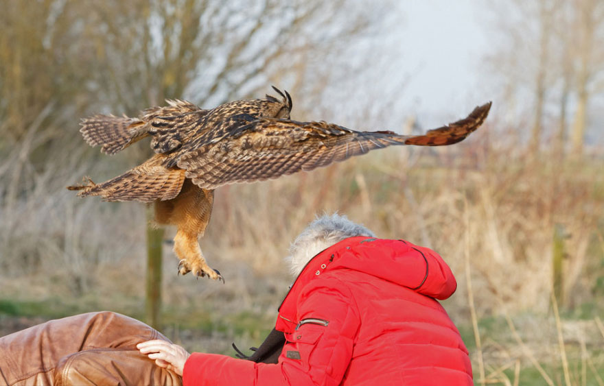 Snuggling Owl Who Loves Landing on People's Heads in Netherlands (5)