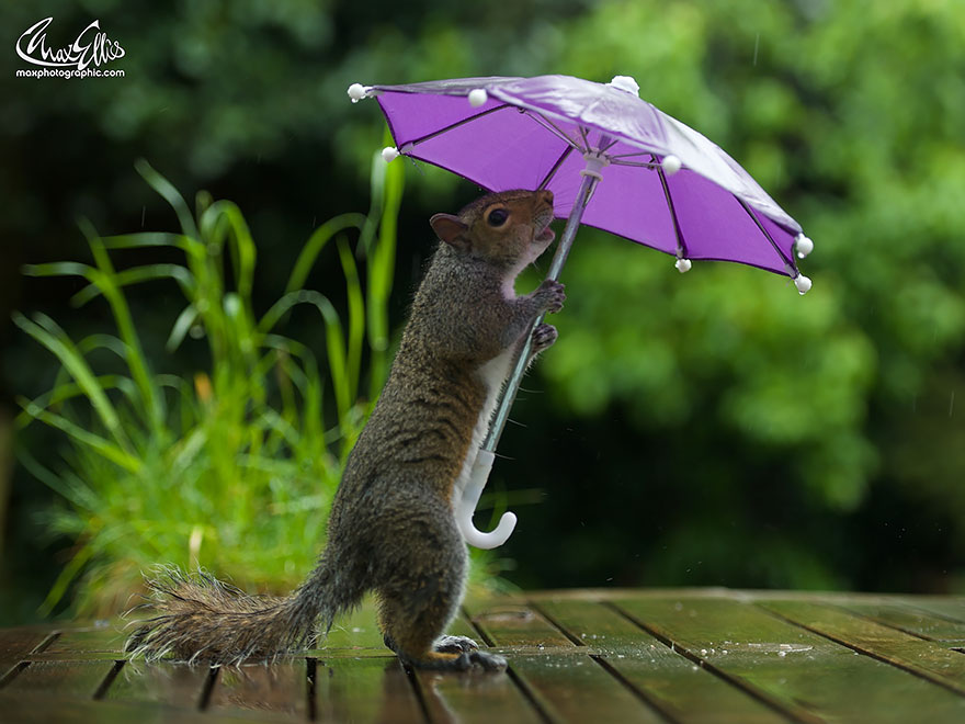Beautiful Squirrel With A Tiny Umbrella To Protect Itself From Rain (4)