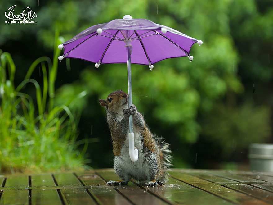 Beautiful Squirrel With A Tiny Umbrella To Protect Itself From Rain (5)