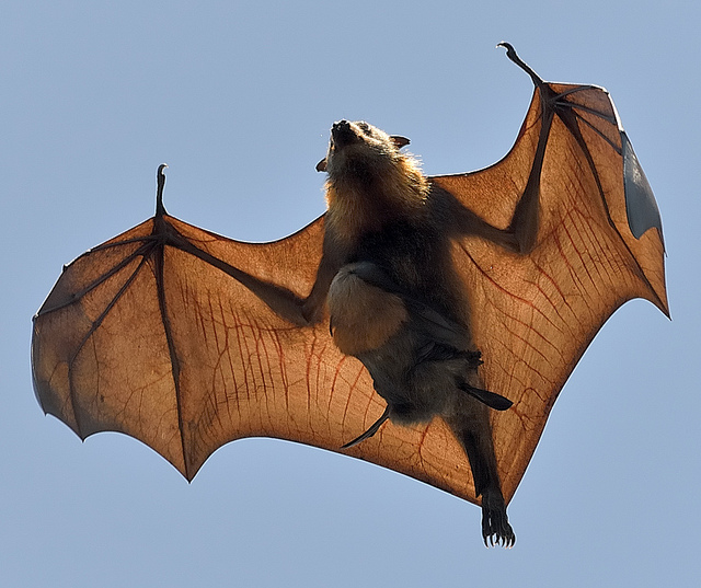 Baby Bat burden back again - Grey Headed Flying Fox by peter