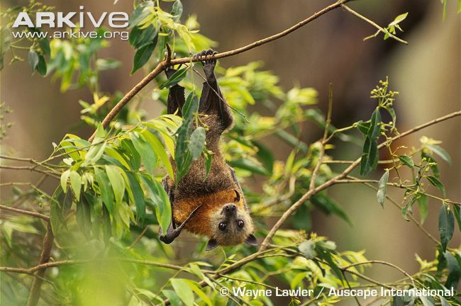 Grey-headed flying fox hanging from branch