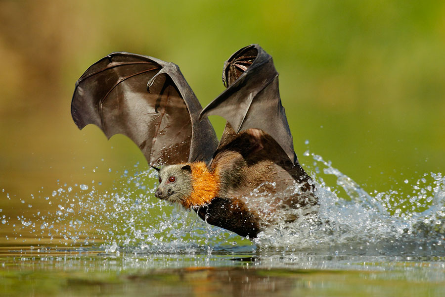 Grey-headed Flying Fox by OFER LEVY