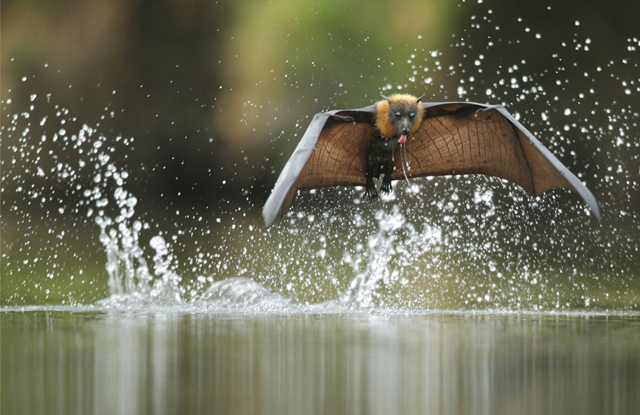 The Grey-Headed Flying Fox, Australia  By Ofer Levy