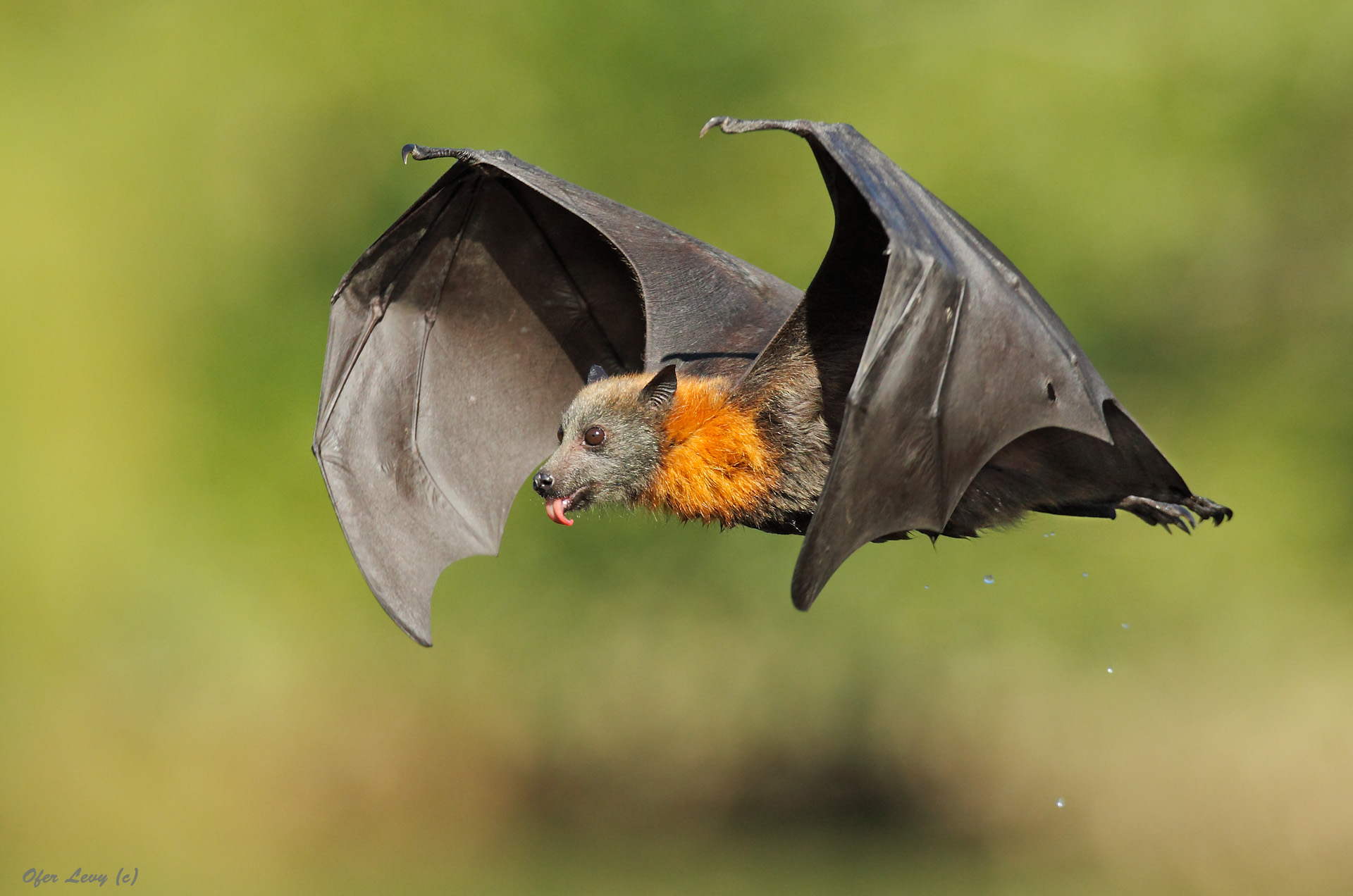grey headed flying fox by ofer levy