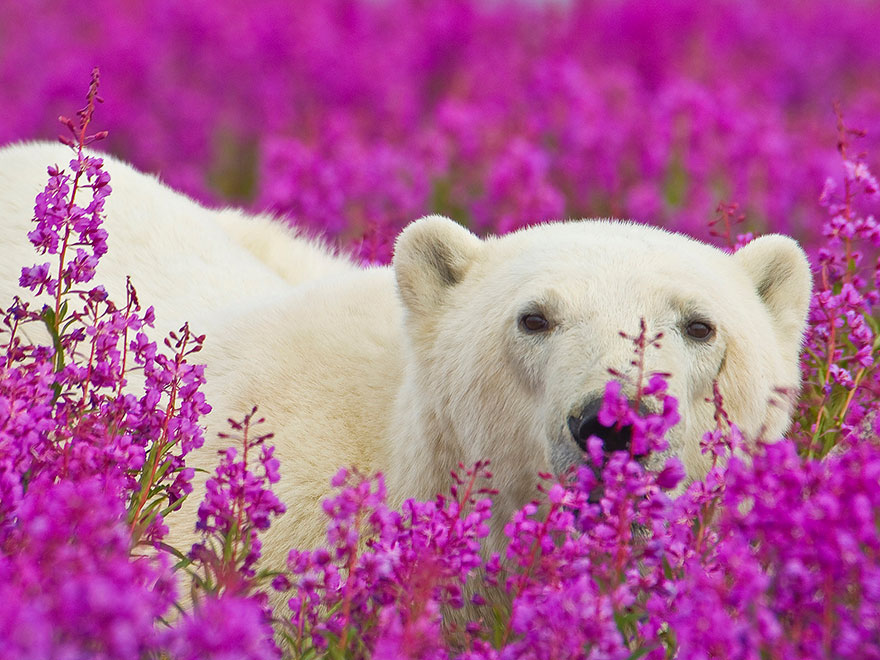 Dennis Fast Captures Polar Bears Playing In Flower Fields (11)