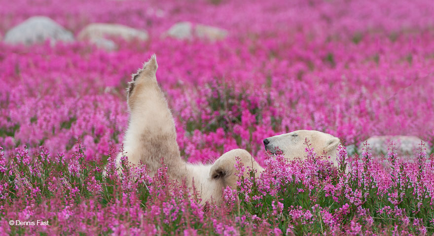 Dennis Fast Captures Polar Bears Playing In Flower Fields (2)