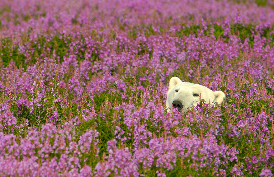 Dennis Fast Captures Polar Bears Playing In Flower Fields (3)
