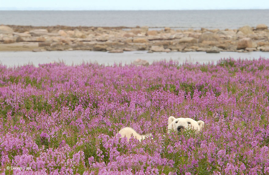 Dennis Fast Captures Polar Bears Playing In Flower Fields (4)