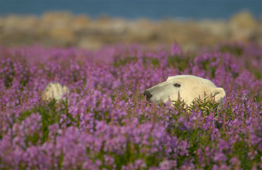 Dennis Fast Captures Polar Bears Playing In Flower Fields (5)