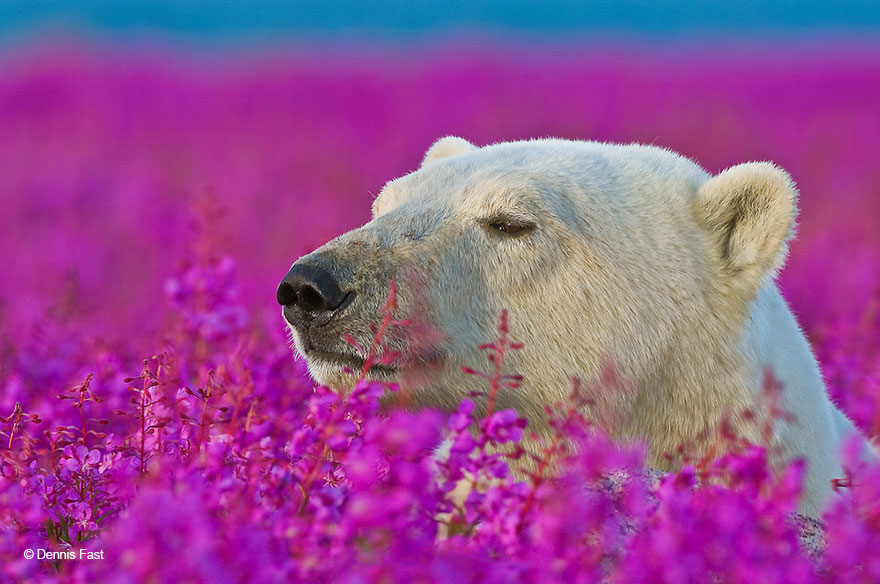 Dennis Fast Captures Polar Bears Playing In Flower Fields (6)