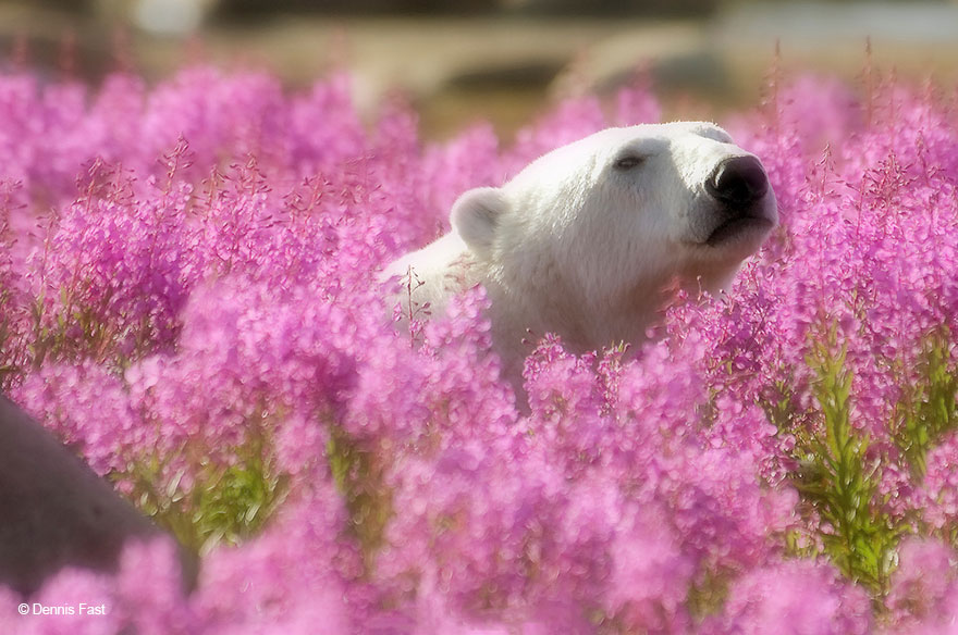 Dennis Fast Captures Polar Bears Playing In Flower Fields (7)