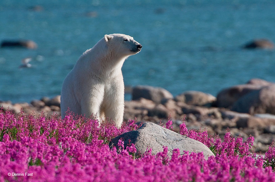 Dennis Fast Captures Polar Bears Playing In Flower Fields (8)