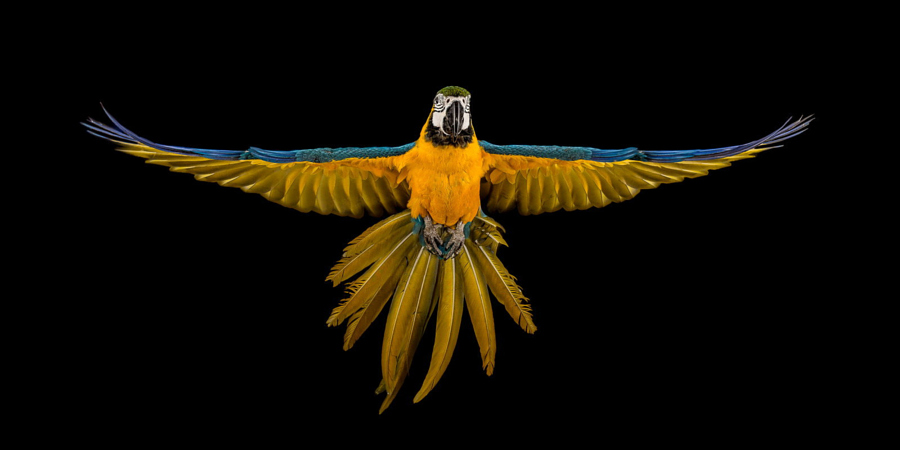 Macaw in Flight by Darren Smith on 500px