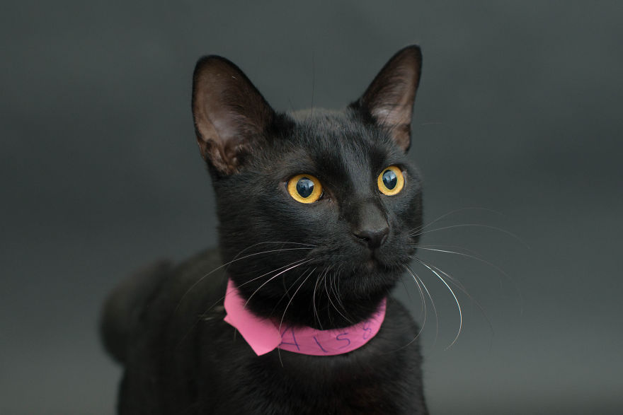 Amazing 10 facts about black shelter cats (11)