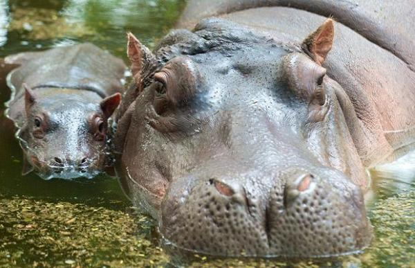 a_15dayold_baby_african_hippopotamus_with_her_mother_is_seen_at_the_delhi_zoo_sander_nacar_south_delhi600_387