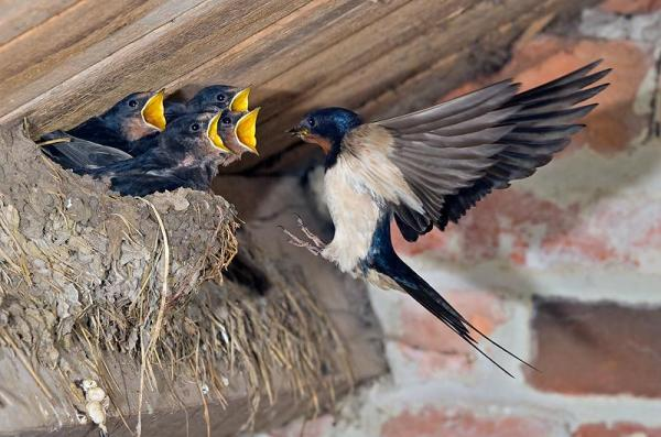 barn_swallow_at_nest600_397