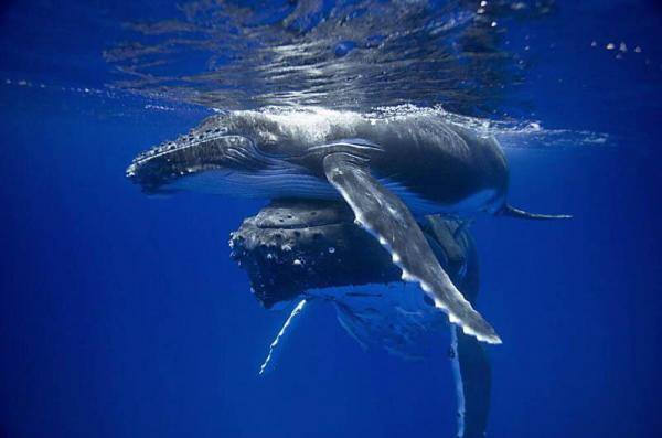 humpback_whale_pushing_her_calf_to_the_surface600_397