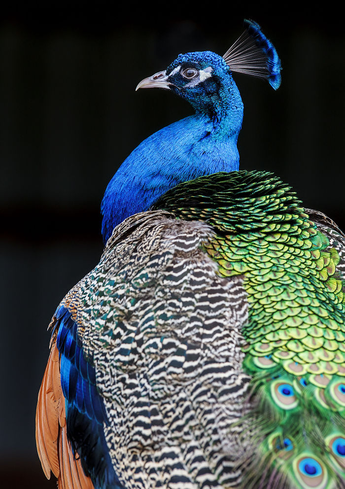 i-lived-in-a-farm-among-horses-and-peacocks-and-captured-these-mythical-animals-13__700
