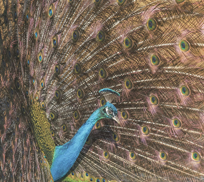 i-lived-in-a-farm-among-horses-and-peacocks-and-captured-these-mythical-animals-15__700