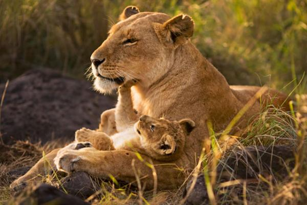 lion_mother_and_cub600_400