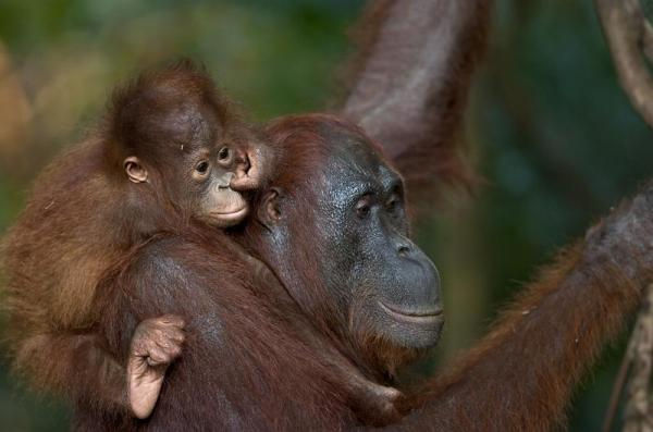 orang_young_on_back_nose600_397